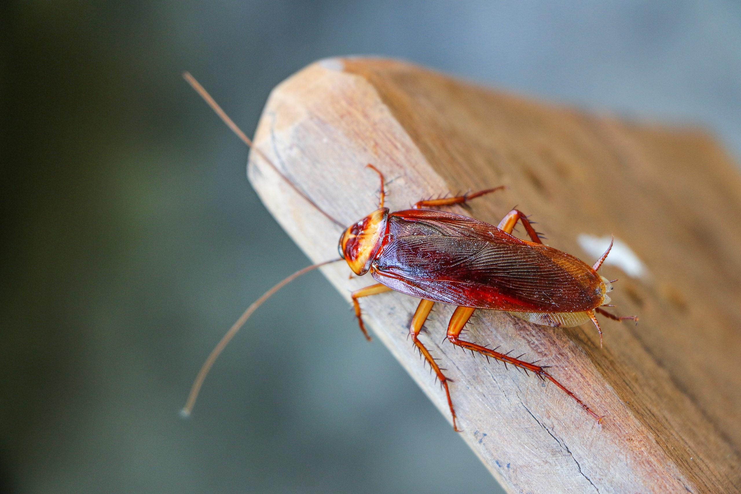 American Cockroach Control