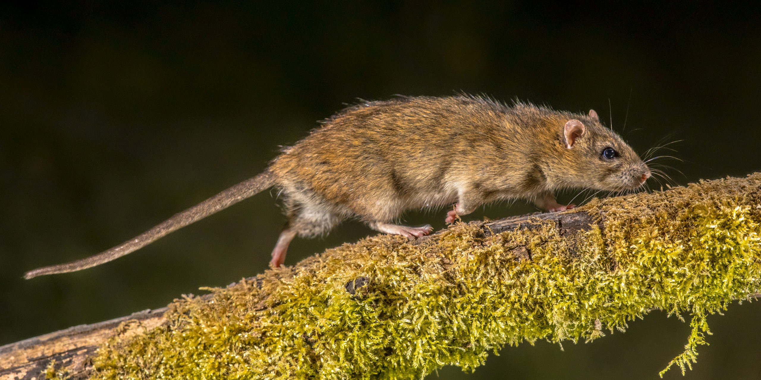 Brown Rat Pest Control Services