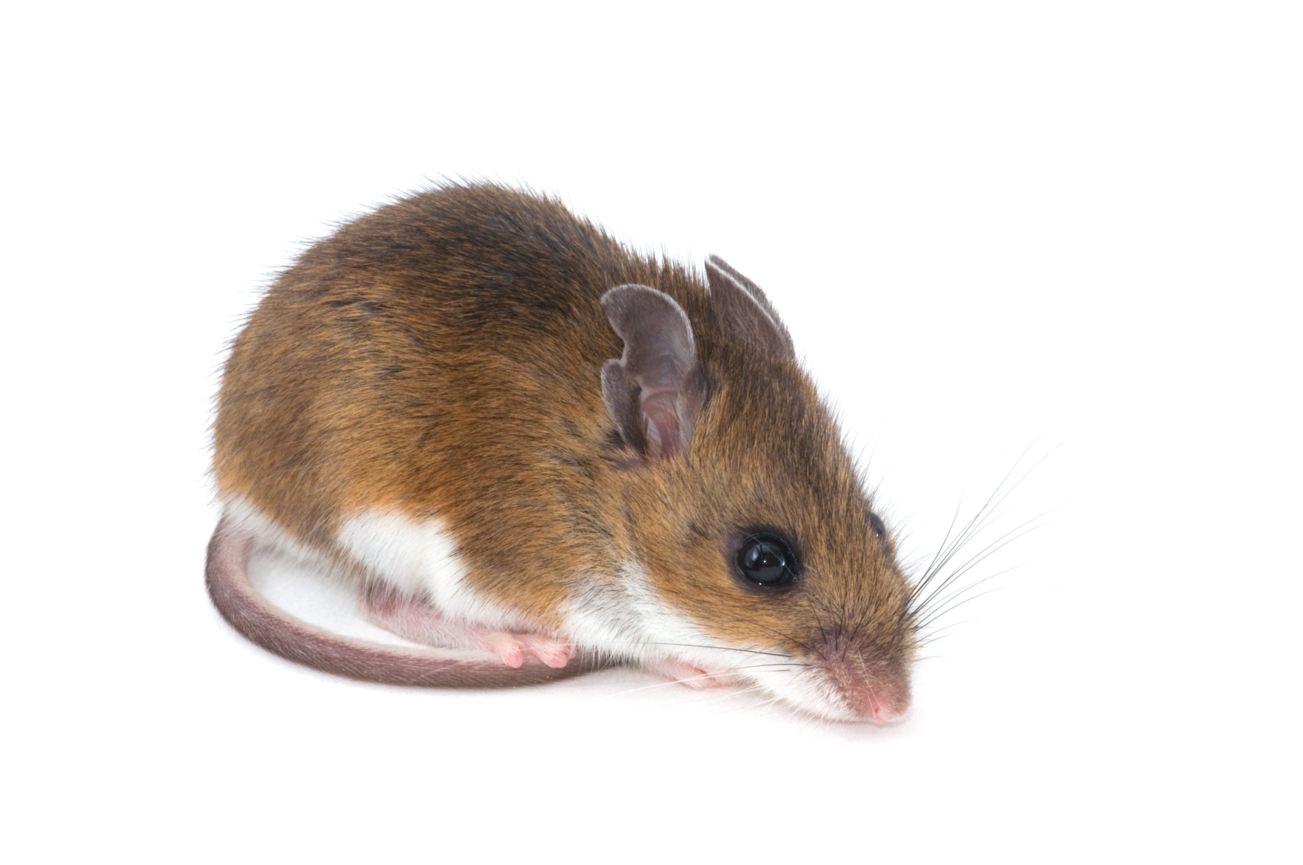 Mouse Pest Control Services