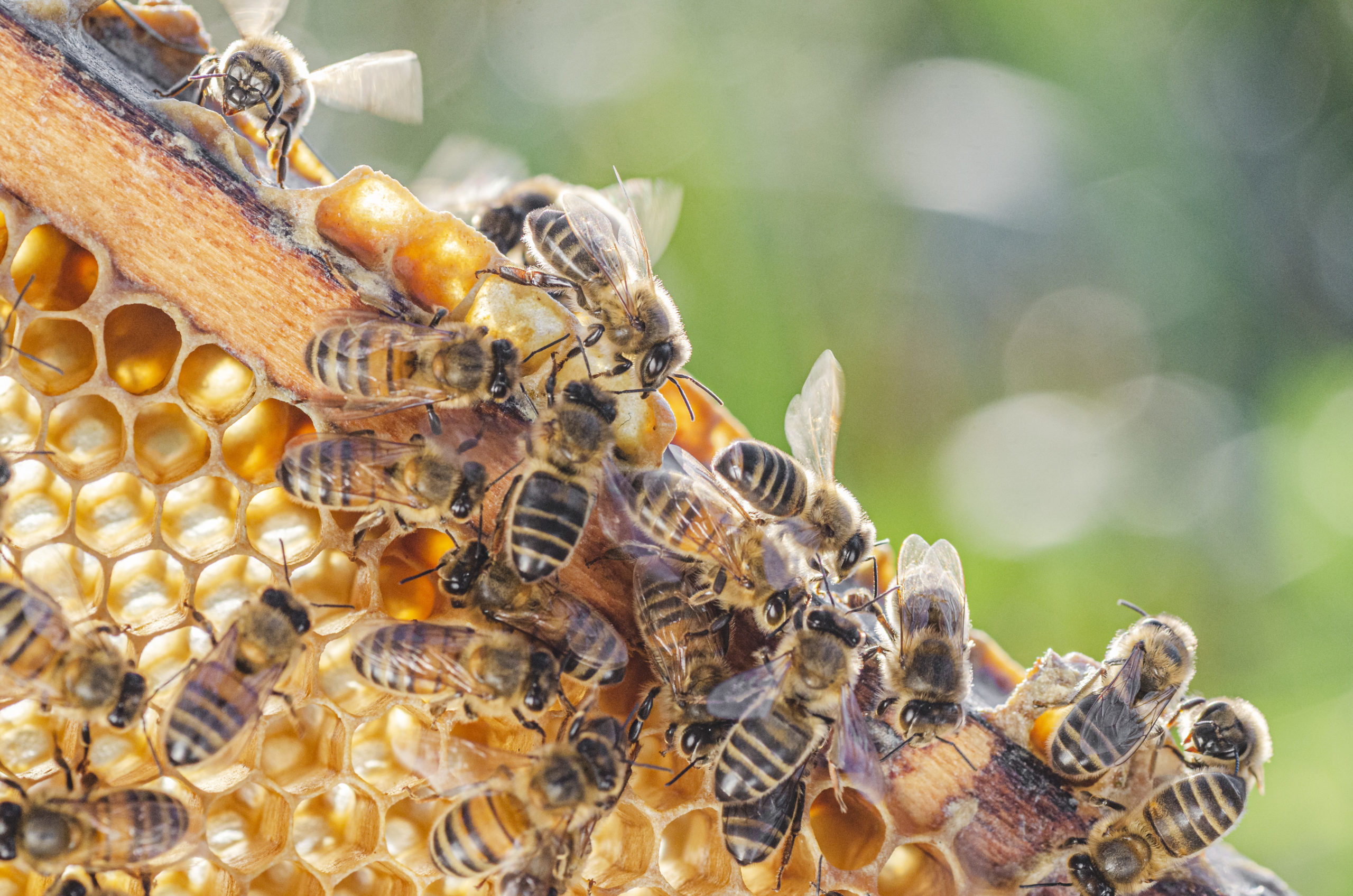 Honey Bees Stinging Insects Control