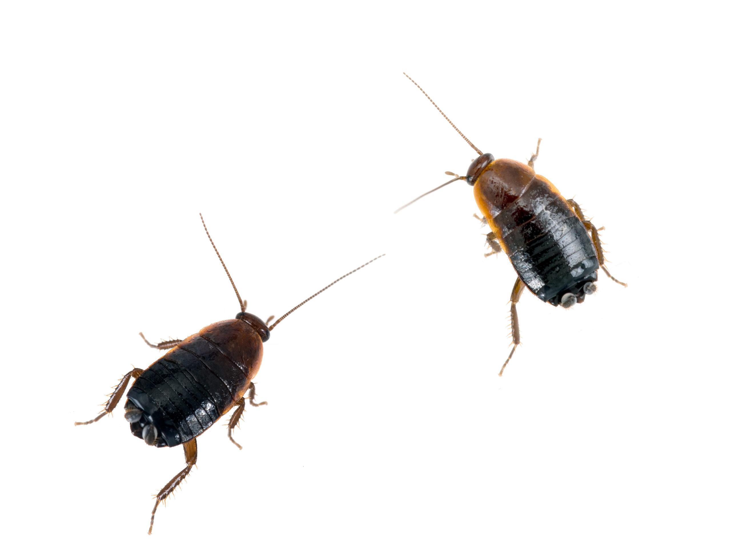 Roach Pest Control Services