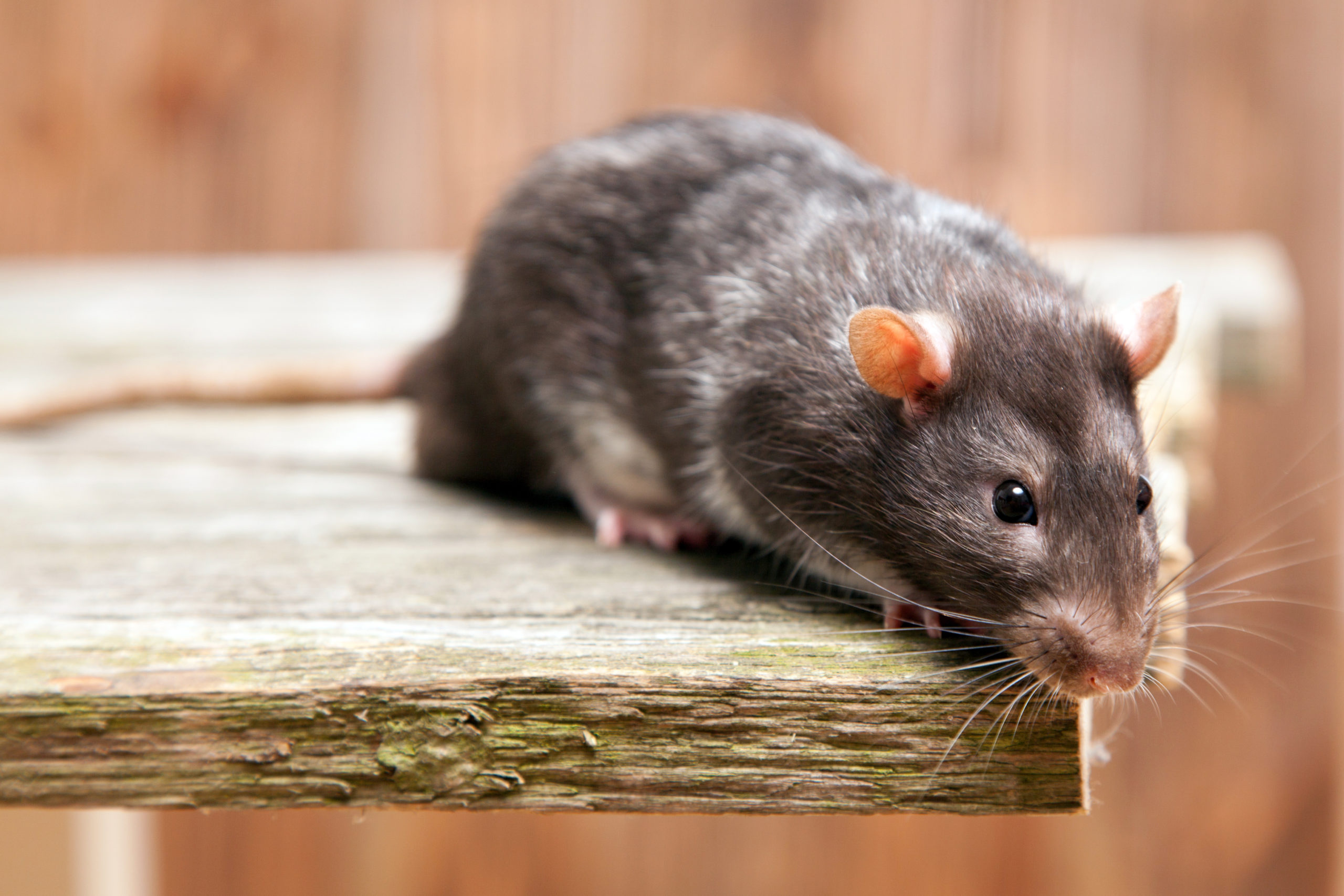 Rat Pest Control Services